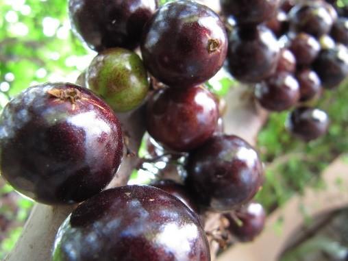 jaboticabeira com frutos