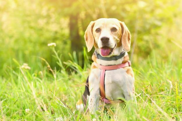 cachorro na grama e o homeopatia para animais